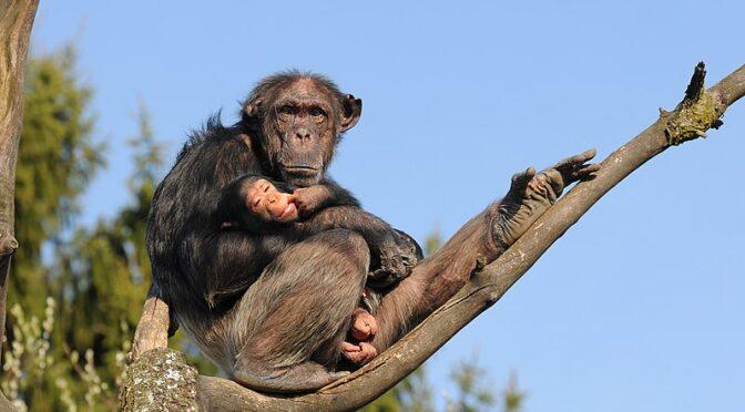 ¿De dónde viene la palabra 'chimpancé'?